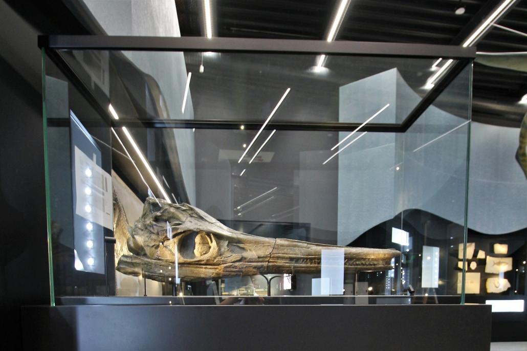 Fischsaurier, Schädel Temnodontosaurus Original, Jura Fundort: Holzmaden * Bayerische Staatssammlung für Paläontologie und Geologie, München
