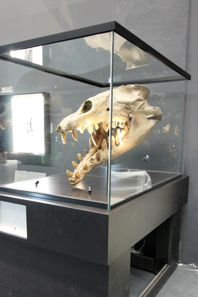 Urwal, Schädel Basilosaurus Abguss, Eozän Fundort: unbekannt * Veranstaltungs- und Kongress GmbH,Rosenheim
